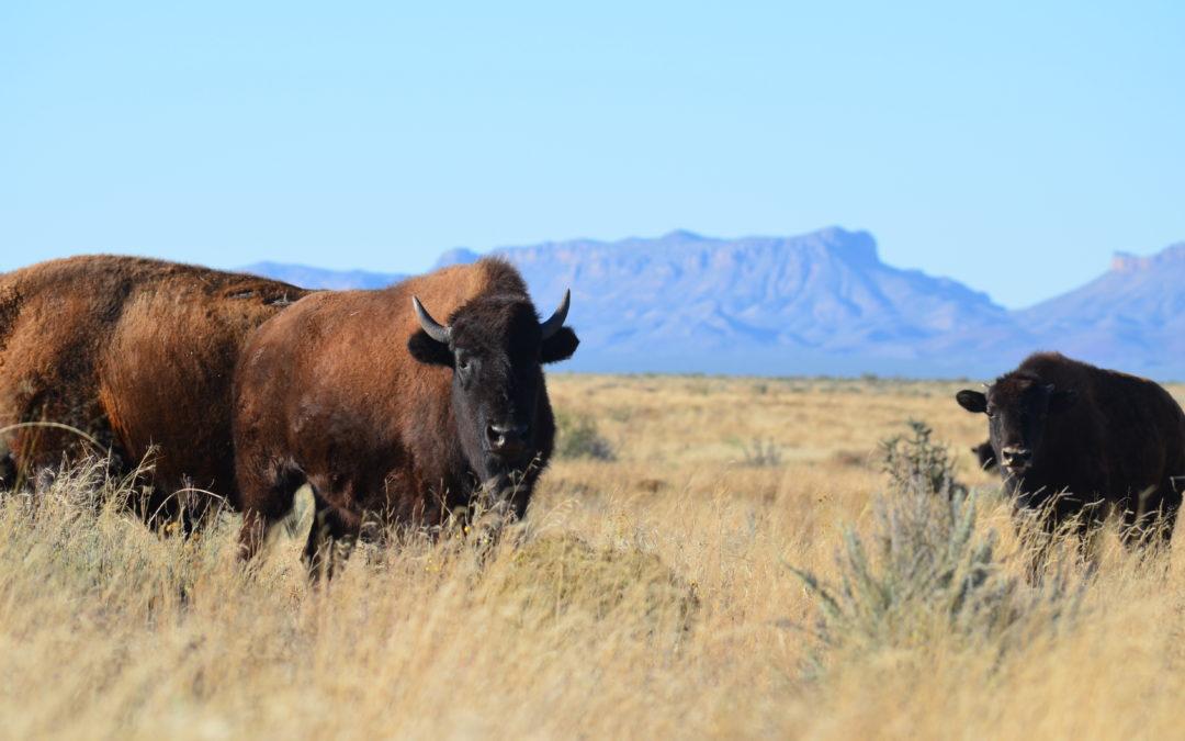 Bison making a huge and tasty comeback